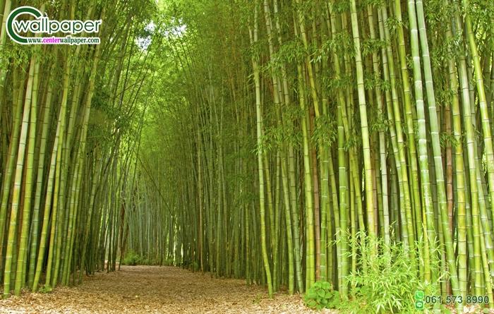 วอลเปเปอร์ภาพววิวสั่งพิมพ์ภาพป่าไผ่