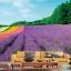 วอลเปเปอร์ภาพวิว ดอกไม้สีม่วง thumbnail 1